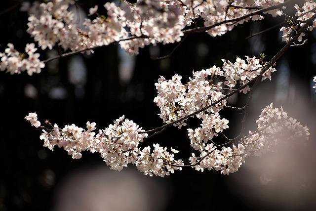 後楽園の桜24