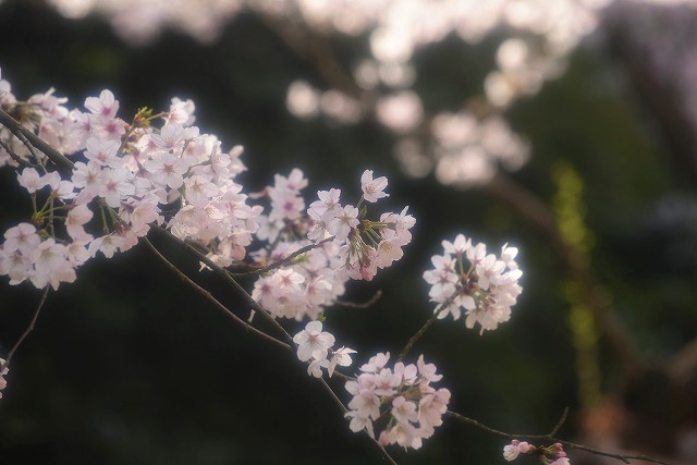 後楽園の桜25
