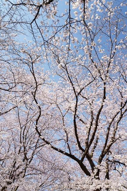 後楽園の桜27