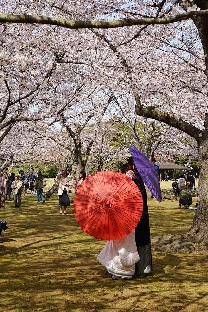 後楽園の桜28
