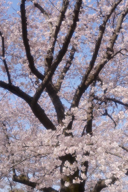 後楽園の桜31