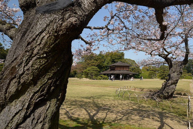 後楽園の桜33