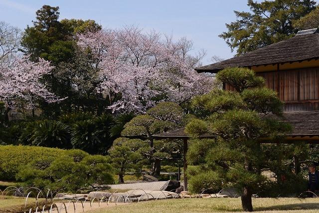 後楽園の桜36
