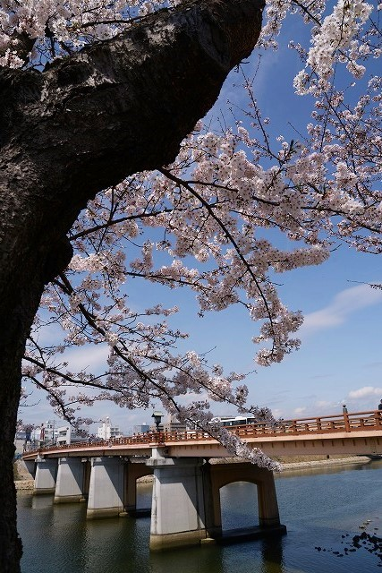 後楽園の桜45