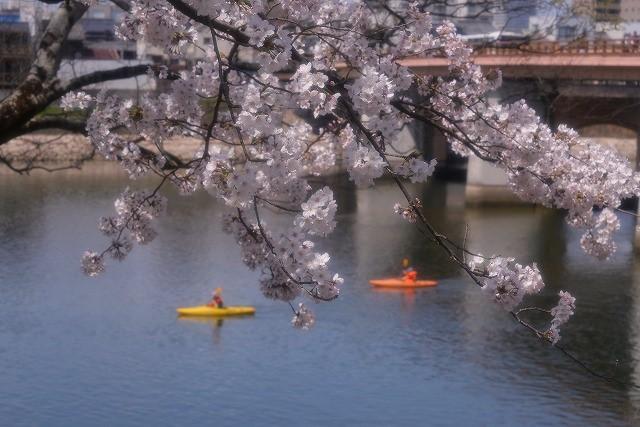 後楽園の桜46