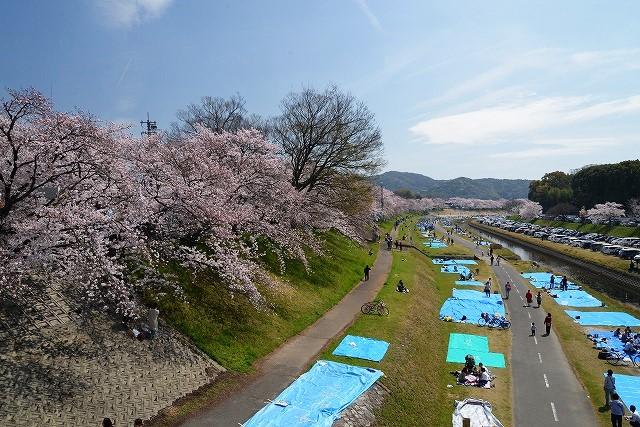 後楽園の桜47