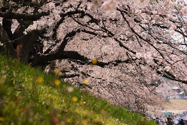 後楽園の桜48