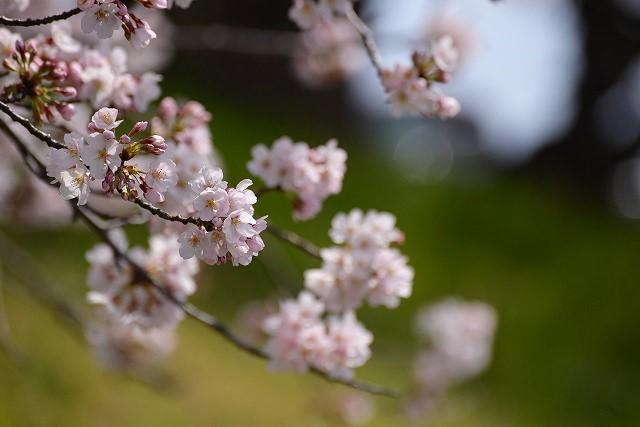 後楽園の桜49