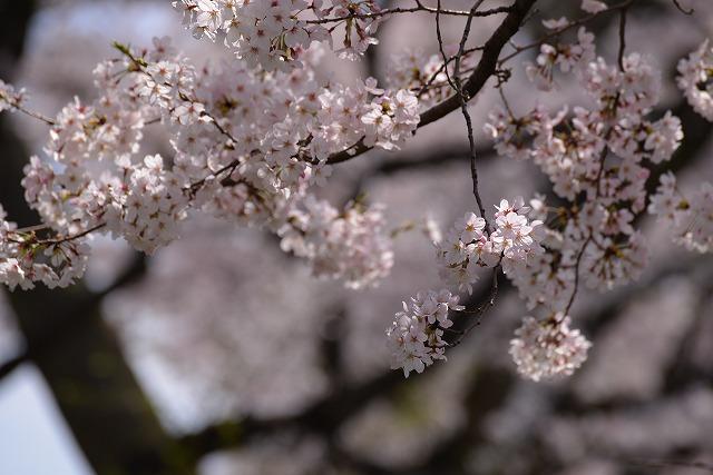 後楽園の桜50