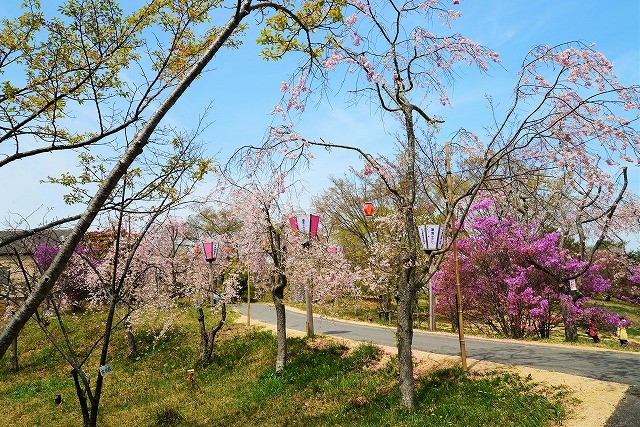 枝垂れ桜11