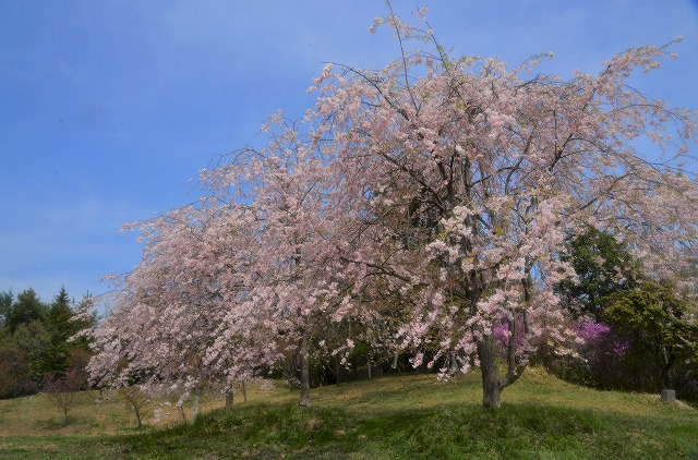 枝垂れ桜13