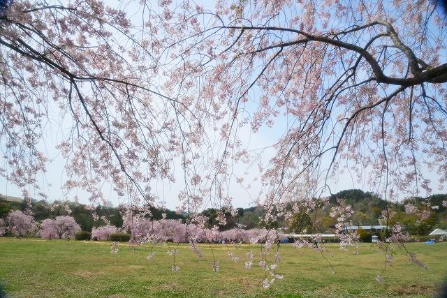 枝垂れ桜14
