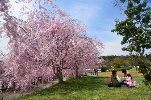 枝垂れ桜16