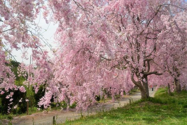 枝垂れ桜17