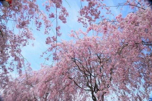 枝垂れ桜18