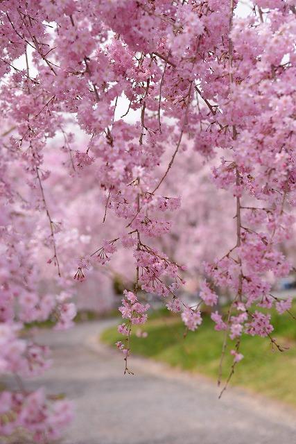 枝垂れ桜19