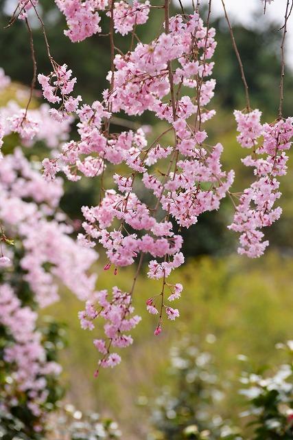 枝垂れ桜20