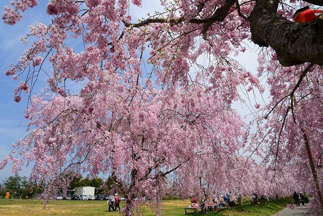 枝垂れ桜21
