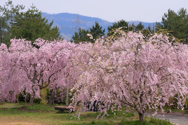 枝垂れ桜22