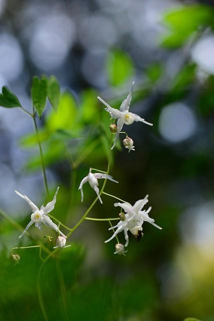 白いイカリ草