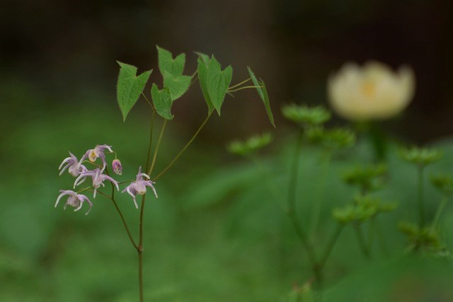 イカリ草とヤ山芍薬