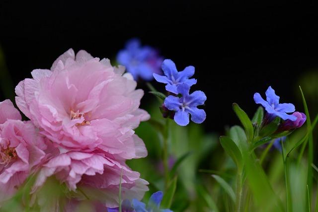 ホタルカズラと牡丹桜1