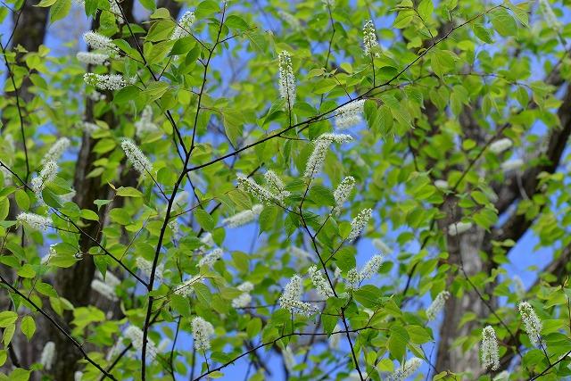 ウワズミ桜1