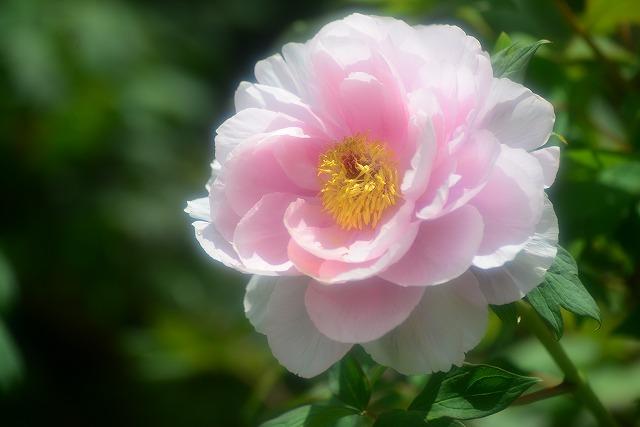 牡丹(ピンク)