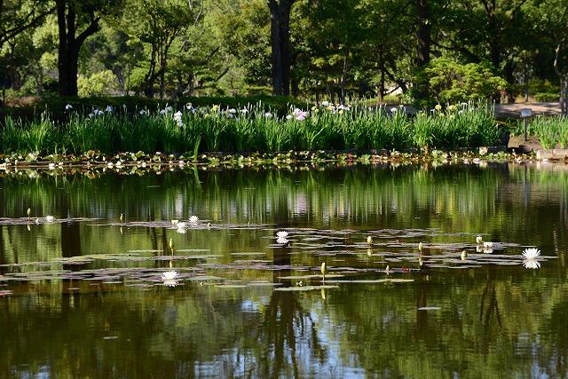 あやめ池公園25スイレン