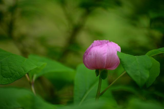 紅山芍薬1