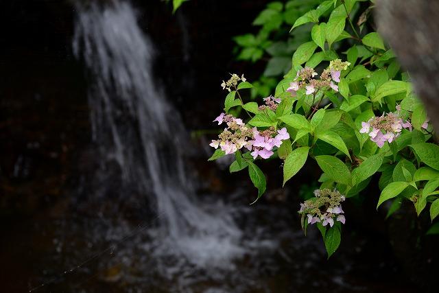 紫陽花と園内の水路1