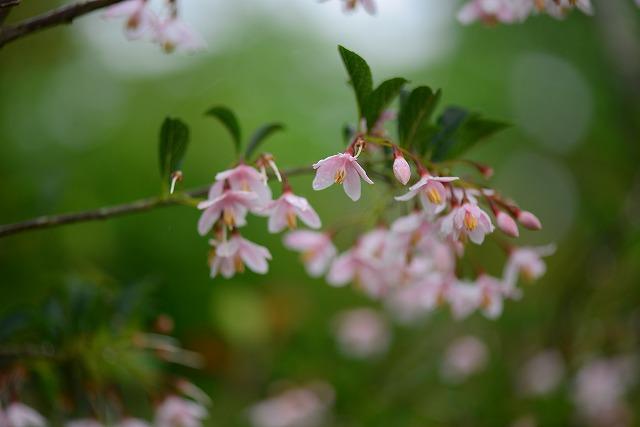 ピンクのエゴの花2