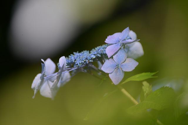紫陽花24
