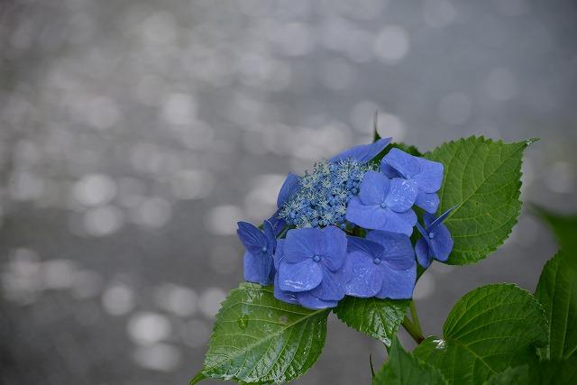 紫陽花25