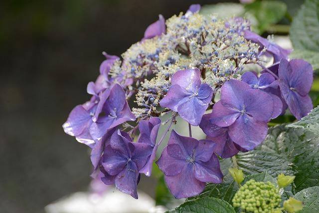 紫陽花29