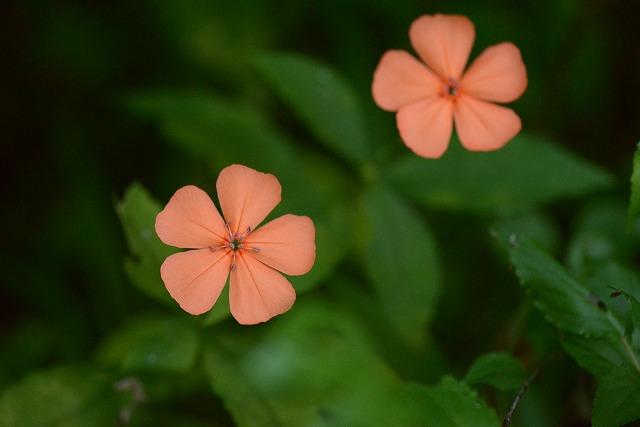 玉泉寺の花 (352)