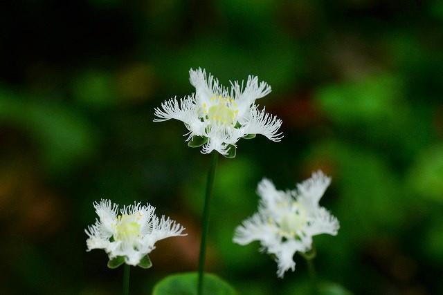 シラヒゲ草5
