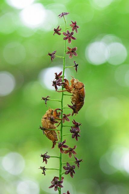 蝉の抜け殻とシュロソウ