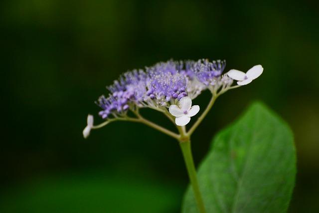玉紫陽花1