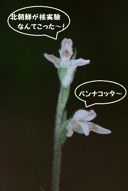 ミヤマウズラ4