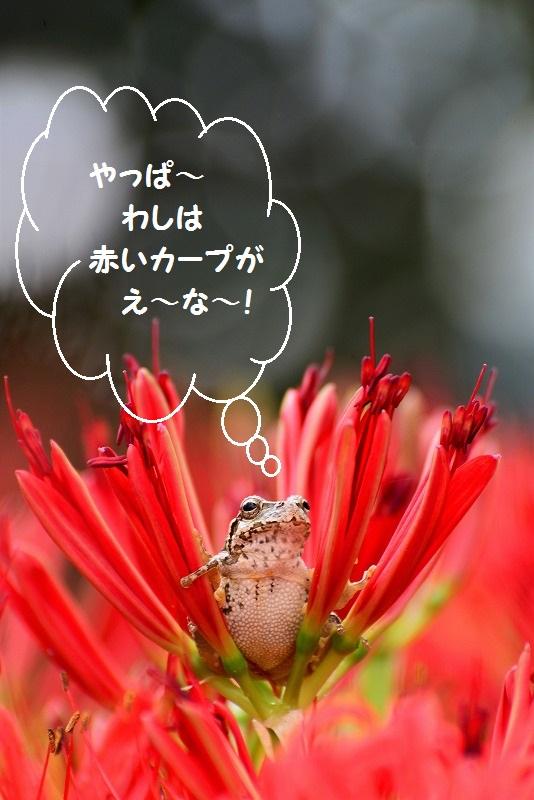 カープファンのアマガエル