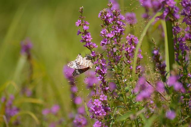 ミソハギと蝶1