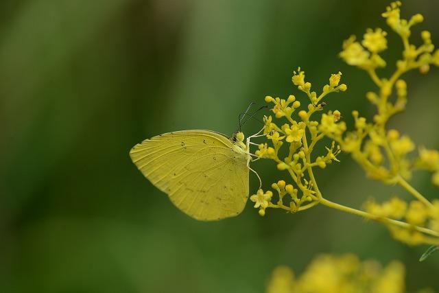 女郎花と黄蝶