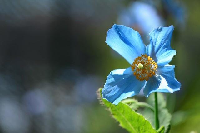 ヒマラヤの青いケシ1