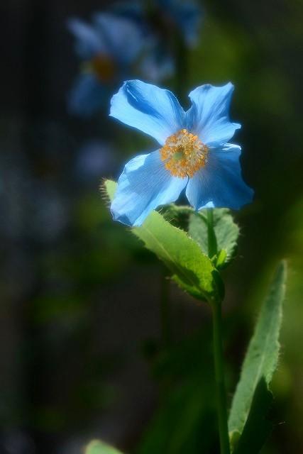 ヒマラヤの青いケシ1-2