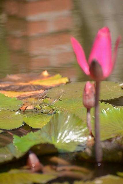 熱帯スイレンルブラとギンヤンマ