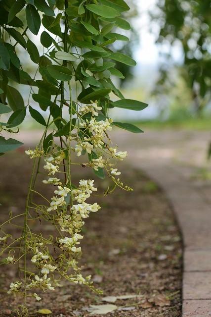 シダレエンジュの花