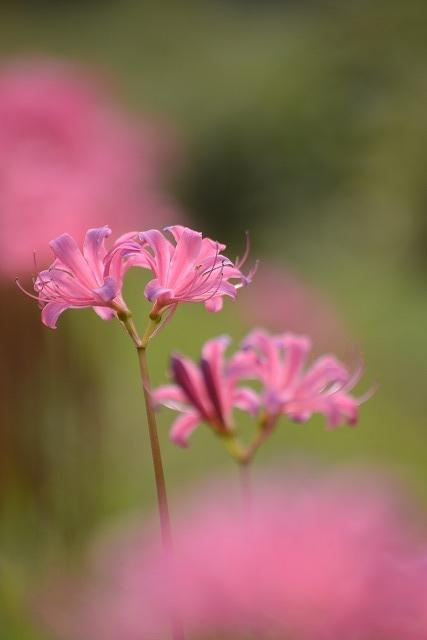 ややピンク色のリコリス2