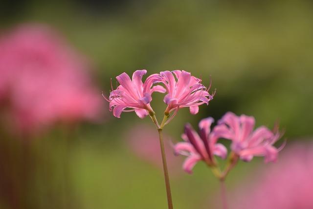 ややピンク色のリコリス3