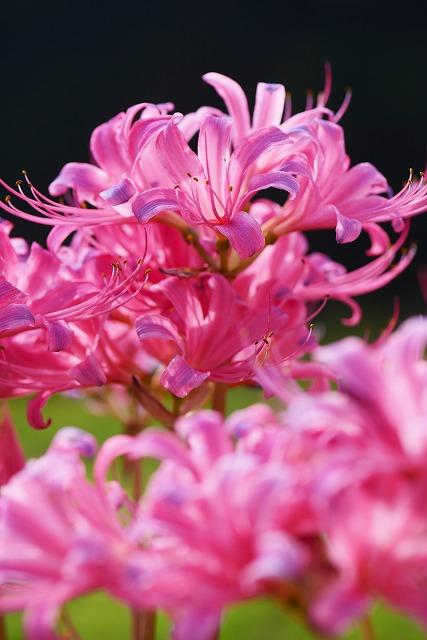 ややピンク色のリコリス6